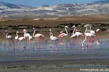 Cyprus Flamingos